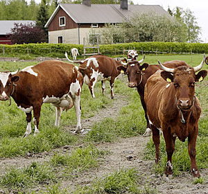 lehmät_laitumella_th_by_mirva_kakko_kuvaryhmä