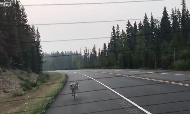 Hämmentävää: Susi jahtasi pitkän matkaa autoa - Hymy